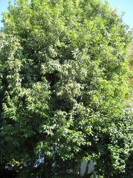 これがどんぐりの木
