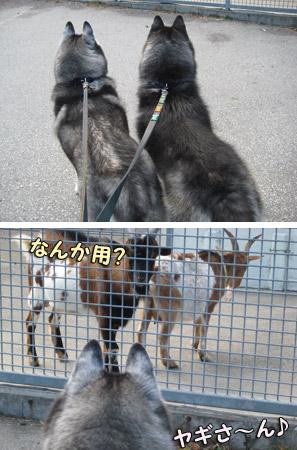 山羊の観察