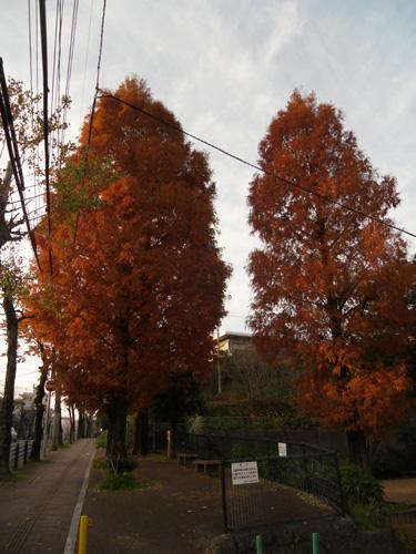 赤い杉の木