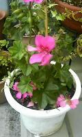 3つ目の花 葵