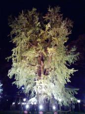 大枝が折れて、大変身した大公孫樹