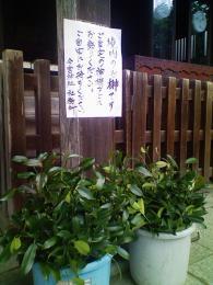 境内にある榊は「真榊」と「山榊」の両方ですが、こちらは真榊ですよ。。