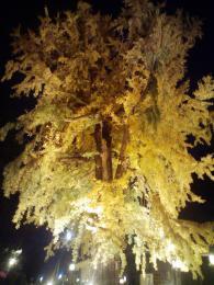 今年の大公孫樹ライトアップ