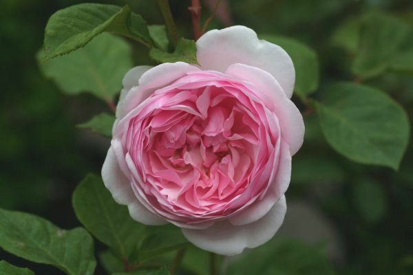 antique_rose_garden-img600x400-1230695842fn75zi6208セント・エセルバーガ