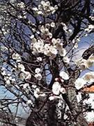画像:梅の木