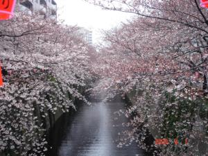 目黒川の桜並木1