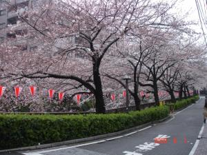目黒川の桜並木2