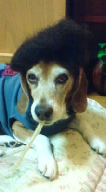 老犬2匹 介護だぞ~16歳ビーグル&13歳盲目のチワワ-071202_0008~01.jpg