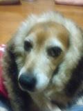 老犬2匹 介護だぞ~16歳ビーグル&13歳盲目のチワワ-071019_2238~01.jpg