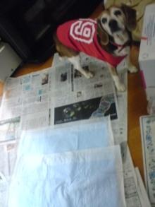 老犬2匹 介護だぞ~16歳ビーグル&13歳盲目のチワワ-110510_0802~01.jpg