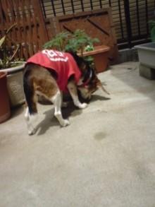 老犬2匹 介護だぞ~16歳ビーグル&13歳盲目のチワワ-110510_1109~01.jpg