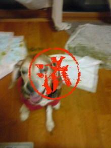 老犬2匹 介護だぞ~16歳ビーグル&13歳盲目のチワワ-110517_2132~02_0001.jpg