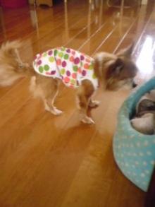 老犬2匹 介護だぞ~16歳ビーグル&13歳盲目のチワワ-110518_0815~01.jpg
