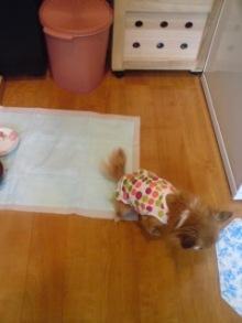 老犬2匹 介護だぞ~16歳ビーグル&13歳盲目のチワワ-110519_1007~02.jpg