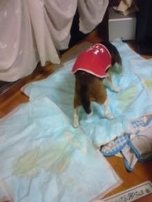 老犬2匹 介護だぞ~16歳ビーグル&13歳盲目のチワワ-110519_2248~01.jpg