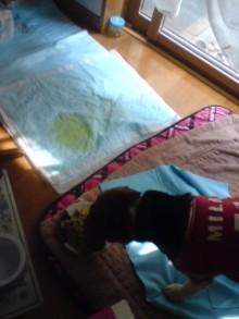 老犬2匹 介護だぞ~16歳ビーグル&13歳盲目のチワワ-110520_1420~01.jpg