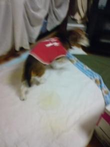 老犬2匹 介護だぞ~16歳ビーグル&13歳盲目のチワワ-110523_1816~02.jpg