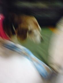 老犬2匹 介護だぞ~16歳ビーグル&13歳盲目のチワワ-110523_1818~01.jpg
