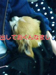 老犬2匹 介護だぞ~16歳ビーグル&13歳盲目のチワワ-110524_1548~01_0001.jpg