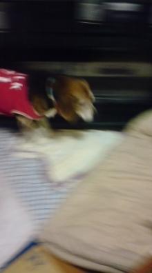 老犬2匹 介護だぞ~16歳ビーグル&13歳盲目のチワワ-110525_2323~01.jpg