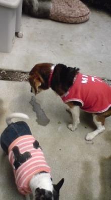 老犬2匹 介護だぞ~16歳ビーグル&13歳盲目のチワワ-110526_1255~03.jpg
