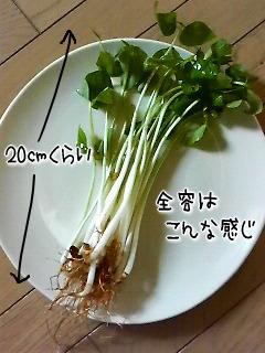 ささげ菜2