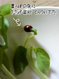 ささげ菜3