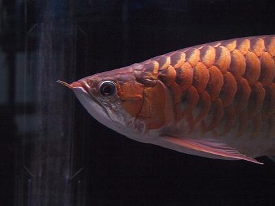 スーパレッド成魚2011.10.1