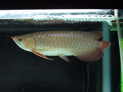 スーパレッド幼魚2011.10.1