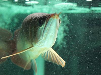 龍魚2011.11.29