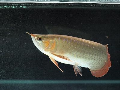 2011.12.21龍魚