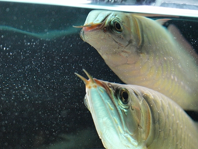 2011.12.21龍魚2