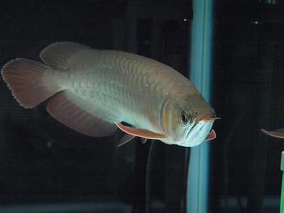 2011.12.25龍魚1
