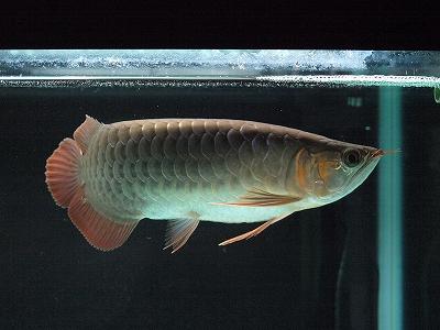 龍魚2012.1.3-1