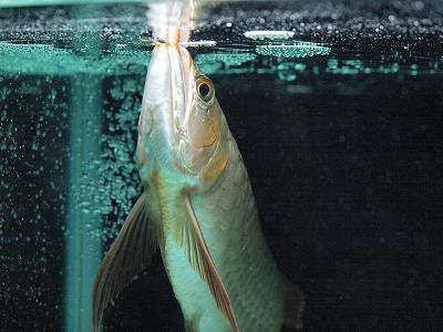 2012.1.29龍魚(喉下発色)