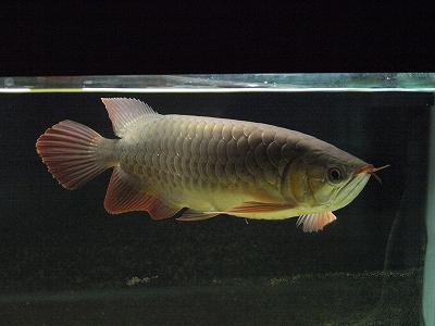 2012.2.29龍魚1