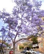 オーストラリア 花