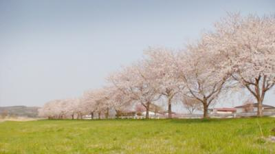 cherry blossoms02