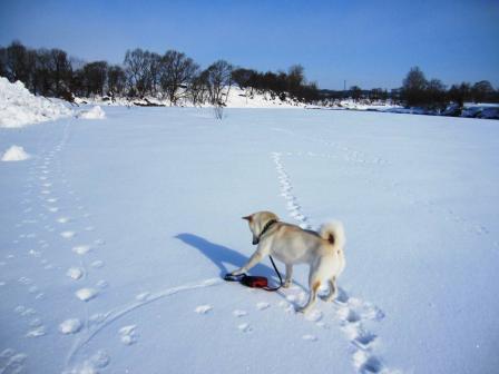 手から離れちゃったリード、ぶっ飛んできてビックリする犬