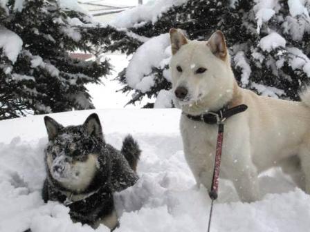 雪がつきやすい ふくちゃん