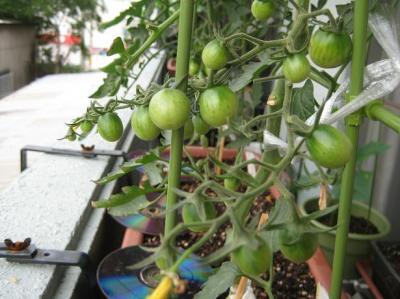 地中海トマト017