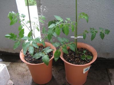 地中海トマト019