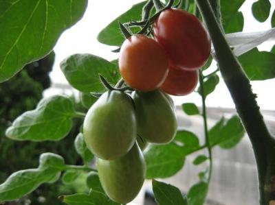 地中海トマト020
