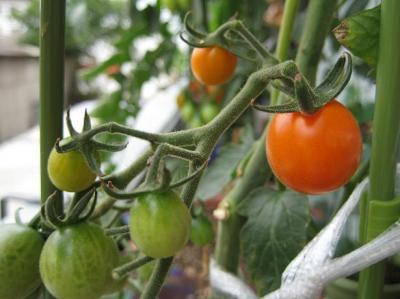 地中海トマト021