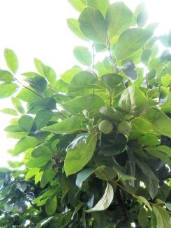 garden's tree-persimmon2009_7_10