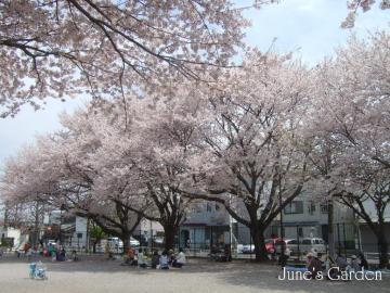 今年の桜02