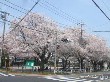今年の桜01