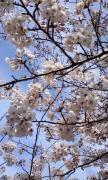 桜7分咲き