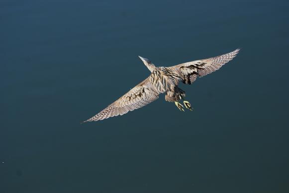 ゴイサギ飛翔15
