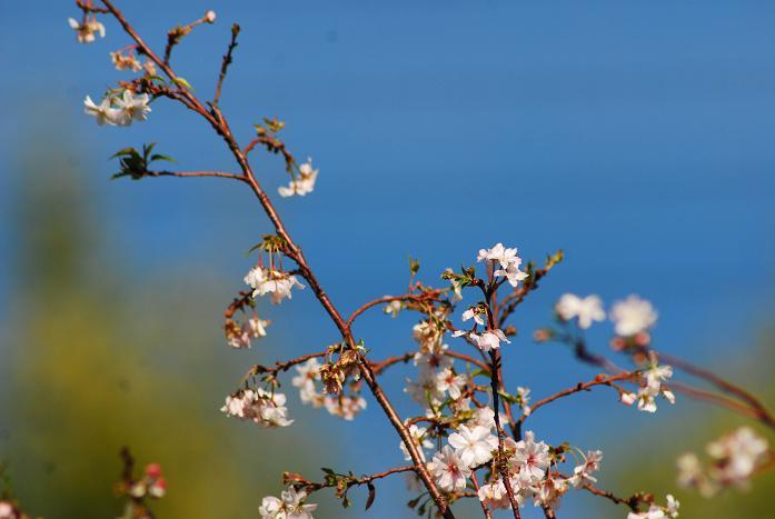 10月桜18